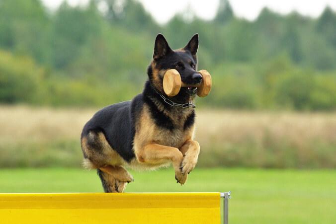Deutscher Schäferhund_Hundesport Nubi_Apport IPO