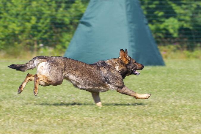 Deutscher Schäferhund_Hundesport Nubi_Revieren IPO