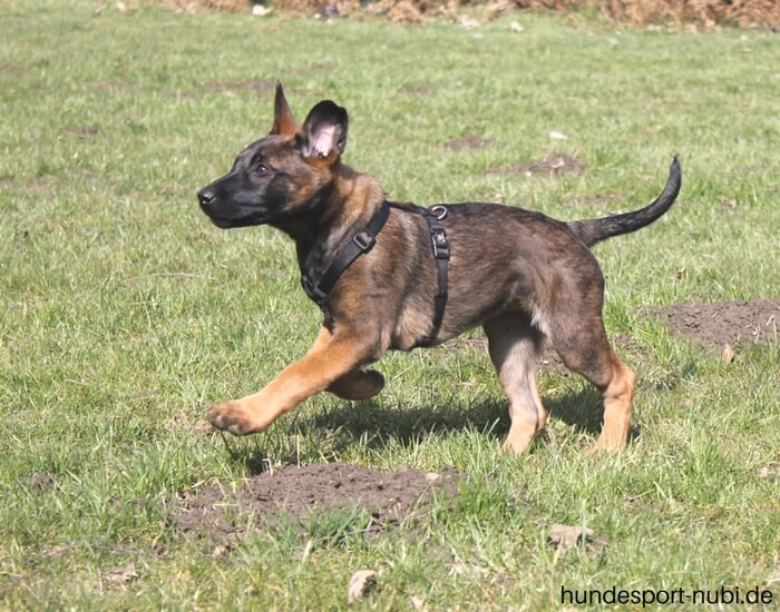 Welpen Hundesport Malinois Sozialisierung_Hundesport Nubi (2)