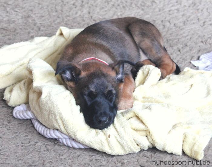 Welpen Hundesport Malinois Sozialisierung_Hundesport Nubi (3)