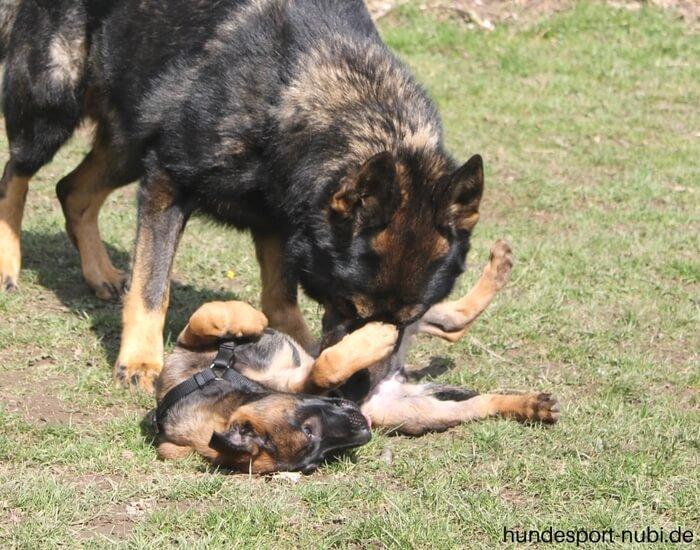 Welpen Hundesport Malinois Sozialisierung_Hundesport Nubi