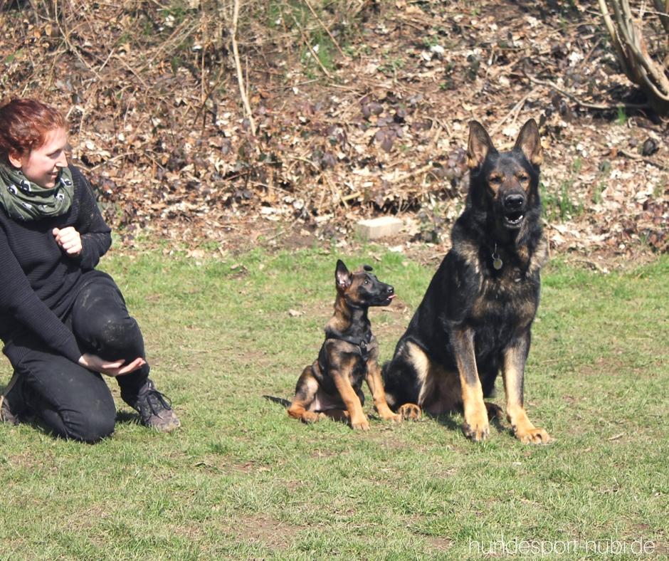 Welpen Hundesport Malinois Welpe Agility_Hundesport Nubi