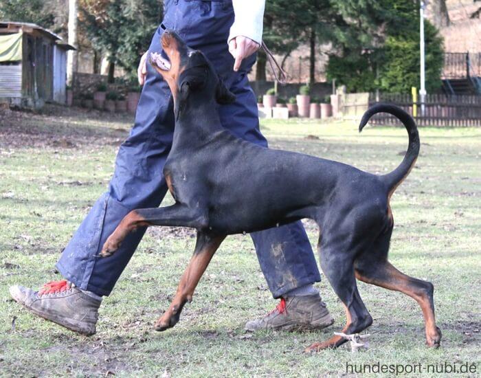 Begleithundeprüfung (BH) Hundesport Nubi