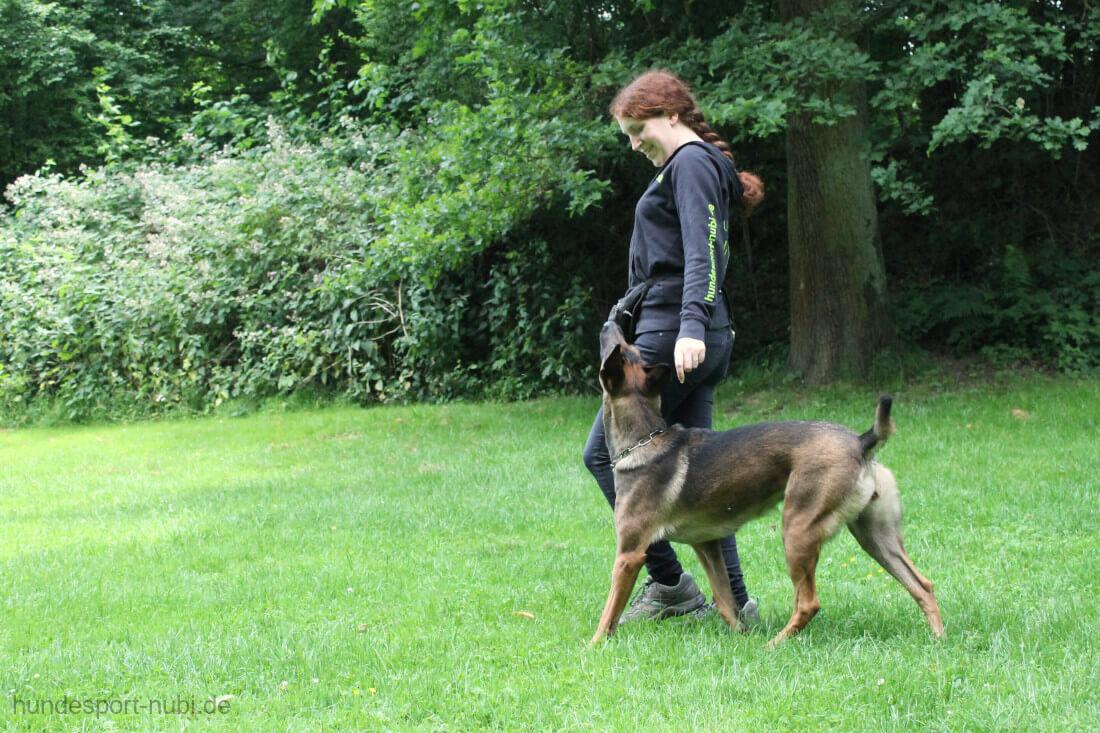 Malinois beim Fußlaufen - Training für die Begleithundeprüfung - Hundesport Nubi