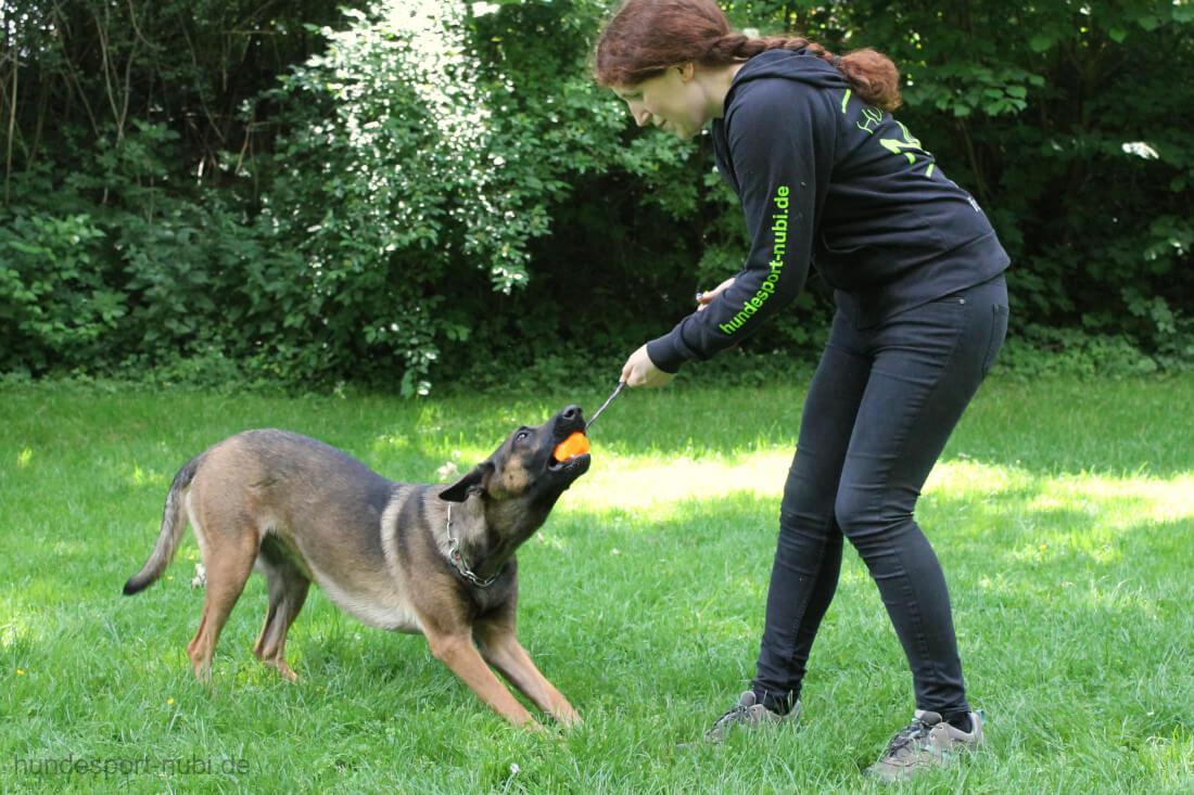 Malinois beim Zerrspiel mit Ball - Training für die Begleithundeprüfung - Hundesport Nubi