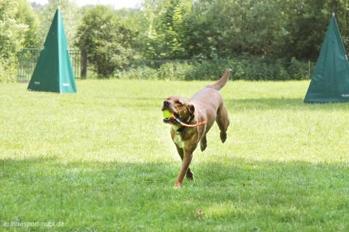 Hund apportiert gelben Ball von Julius K9 - Hundespielzeug günstig online kaufen bei Hundesport Nubi