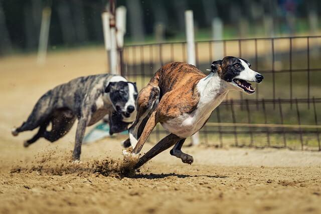 Hundesportarten Liste - Hundesport Nubi - Hunderennen Coursing Windhunde