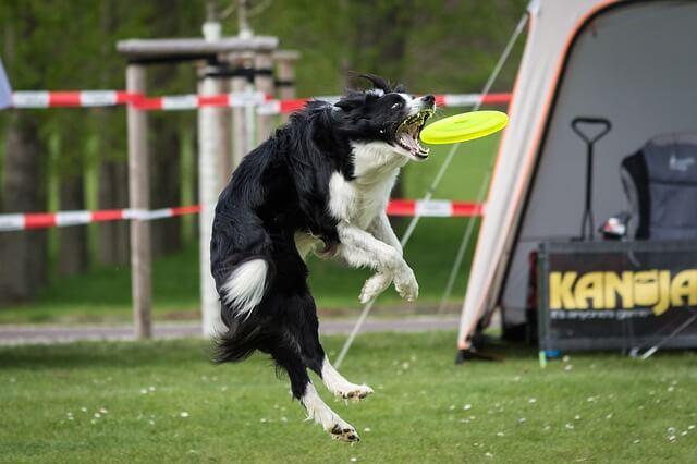 Hundesportarten Liste - Hundesport Nubi - Frisbee