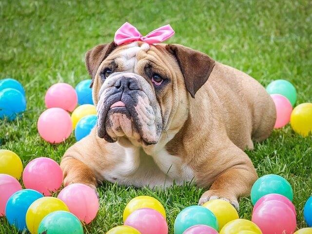 Hundesportarten Liste - Hundesport Nubi - Bulldogge