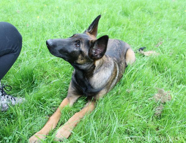 Vom Welpen zum Begleithund - Fuß laufen - Platz -Begleithundeprüfung - Hundesport Nubi