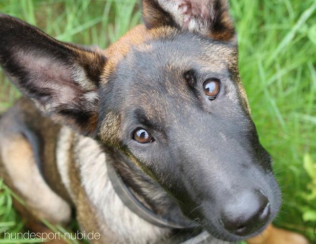 Vom Welpen zum Begleithund - Fuß laufen - sitz -Begleithundeprüfung - Hundesport Nubi