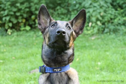 Halsband Julius K9 blau 27 - 42 cm - Malinois Welpe - günstig online kaufen bei Hundesport Nubi