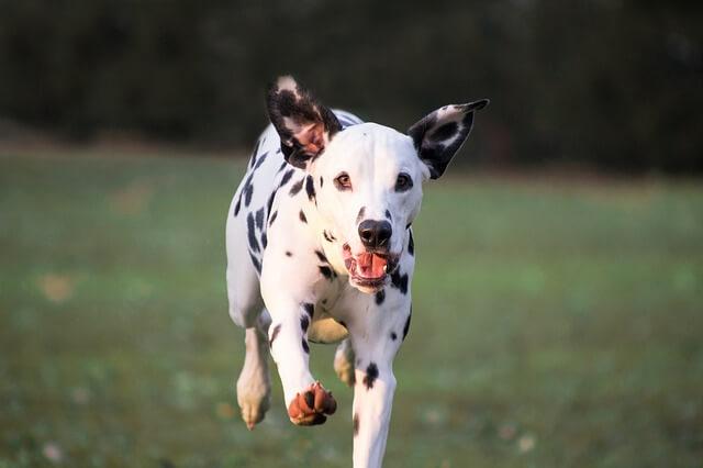 Training im Sommer - Hundesport Nubi - Dalmatiner
