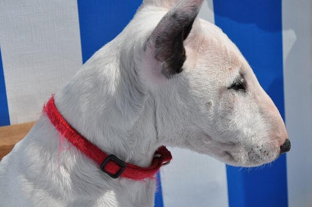 Training im Sommer - Hundesport Nubi -Sonnenbrand Bullterrier
