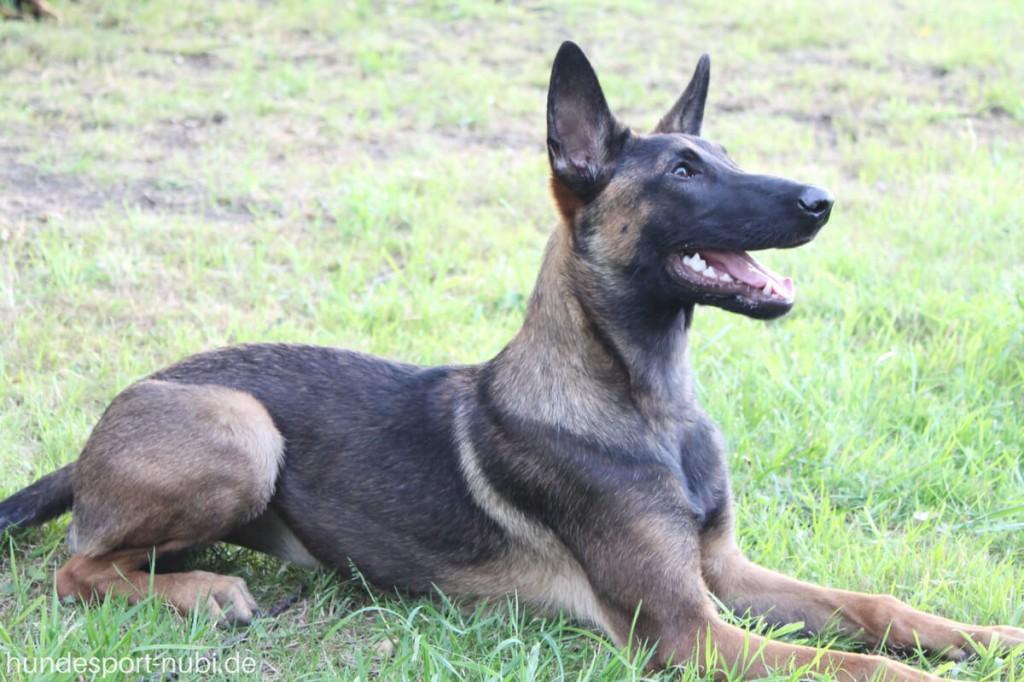 Vom Welpen zum Begleithund - Begleithundeprüfung - Malinois Platz - Grundstellung - Hundesport Nubi