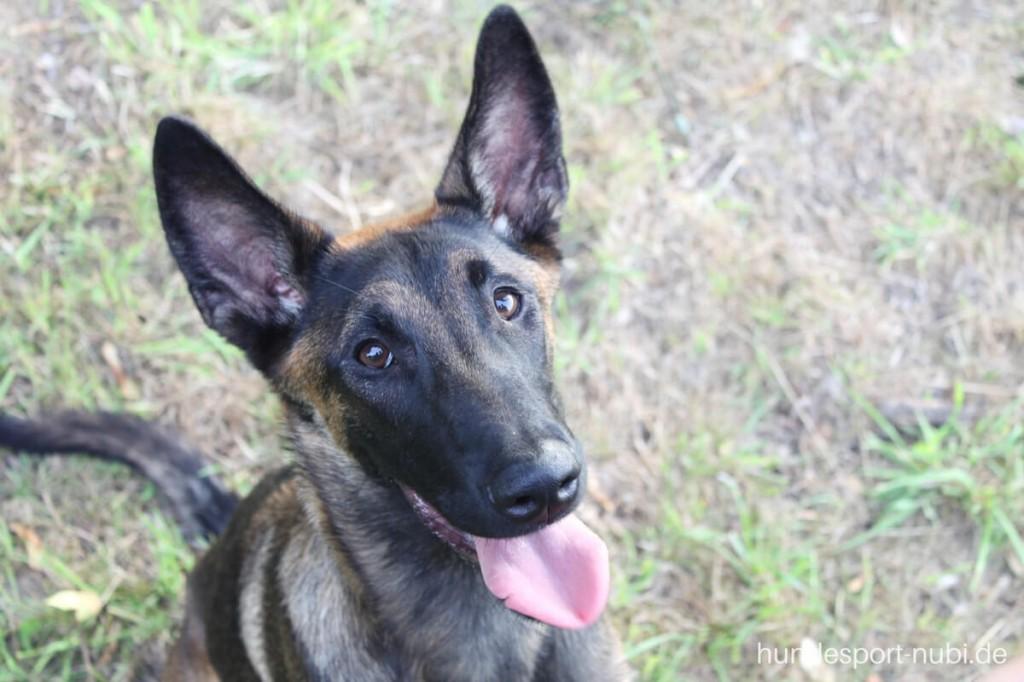 Vom Welpen zum Begleithund - Begleithundeprüfung - Malinois Training - Hundesport Nubi (3)