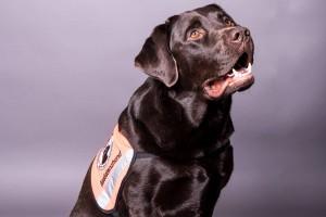 Assistenzhund: Aufgaben, Ausbildung und Training eines PTBS-Assistenzhundes - Labrador