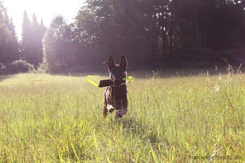 Malinois mit Beißwurst aus Leder rennt über Wiese - Spielzeug für Hunde - Julius K9 - Hundespielzeug hier günstig online kaufen: Hundesport Nubi