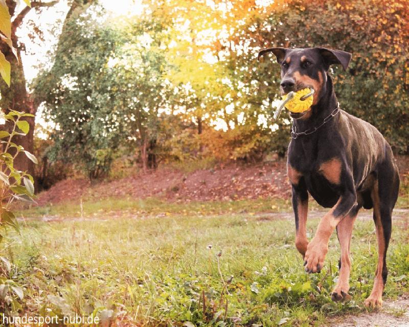 Gesunder Hund im Herbst - Dobermann mit Ball - Hundesport Nubi
