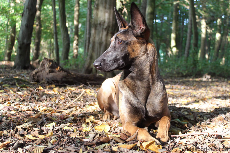 Vom Welpen zum Begleithund - Vorsitz - Malinois Wollie im Wald - Hundesport Nubi