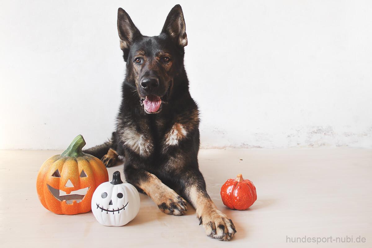 Halloween mit Hund - Schäferhund und Kürbis - Hundesport Nubi