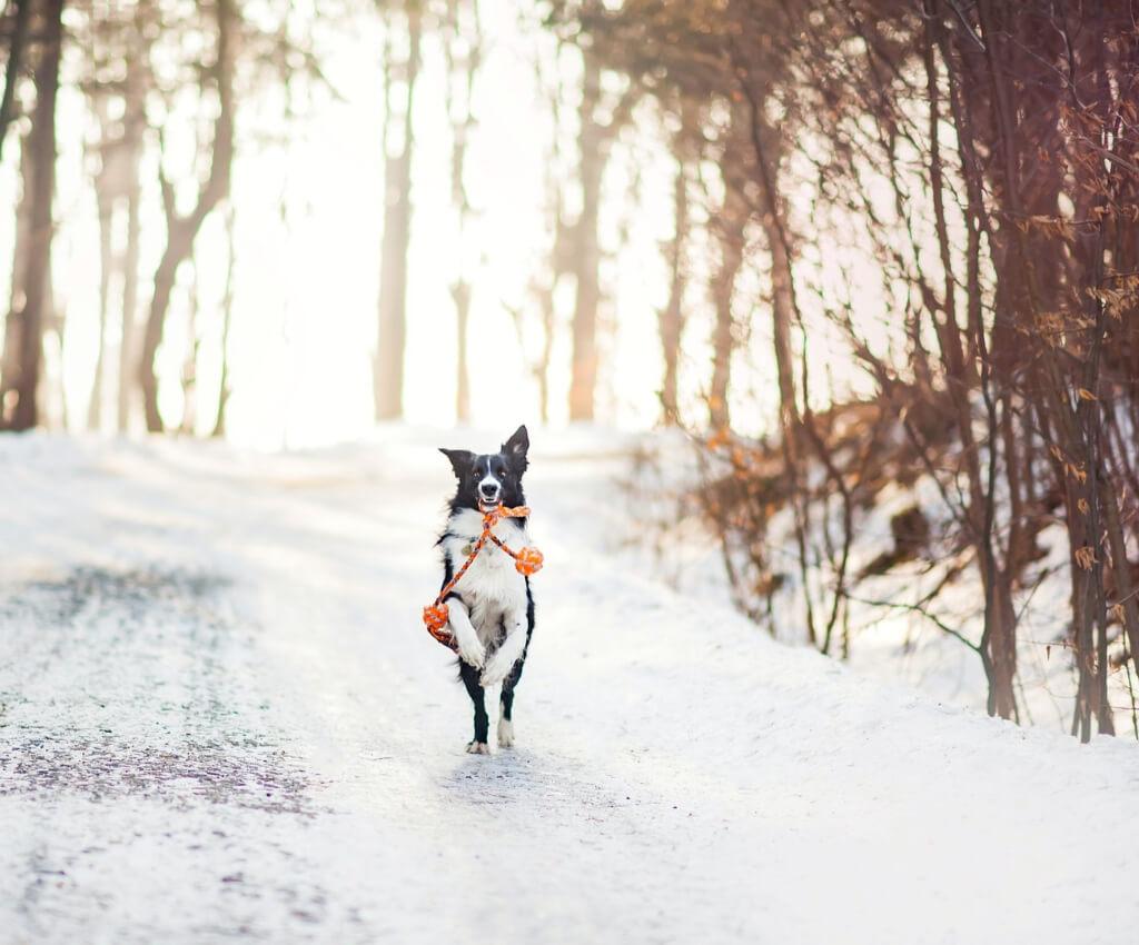 Geschenke für Hundesportler - 20 Ideen, was du Weihnachten schenken kannst - Weihnachtsgeschenke für Hund und Herrchen - Hundesport Nubi - Shop für aktive Hunde - Border Collie im Schnee