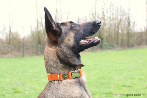 Hunter Halsband orange mit Metall Verschluss - Malinois - günstig kaufen bei Hundesport Nubi