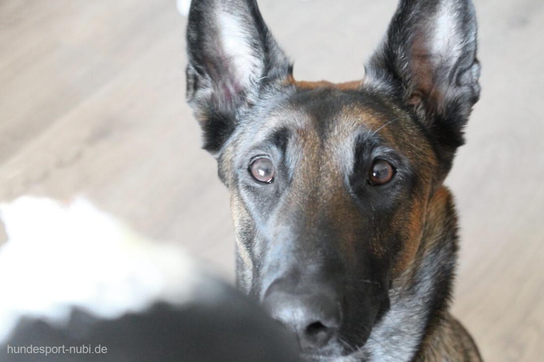 5 leckere Rezepte für den KONG für gesunde Hunde - Schäferhund - Hundesport Nubi - Hundeblog