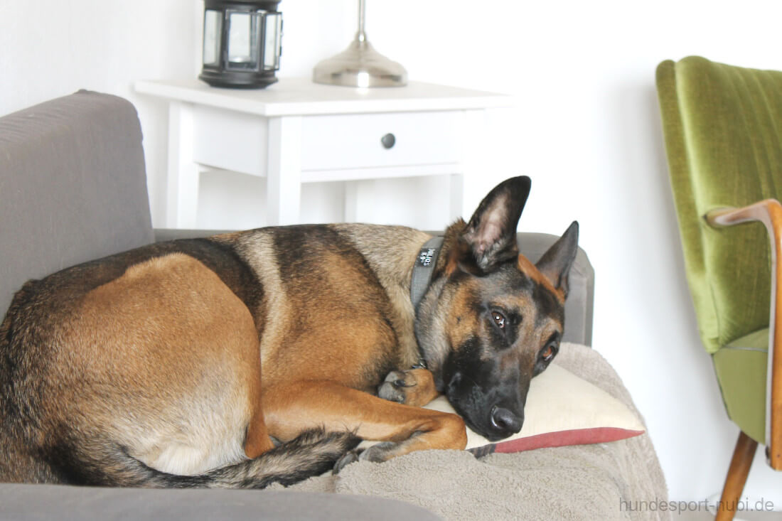 Malinois auf Sofa - Vorbereitung Begleithundeprüfung - das erste Turnier - Tipps und Tricks - Hundeblog Hundesport Nubi