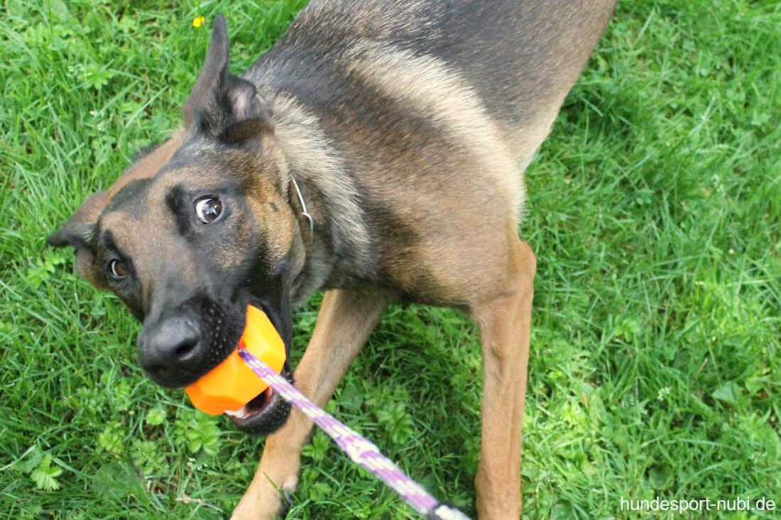 Malinois Wollie beim Zerrspiel mit dem Ball - Hundesport Nubi
