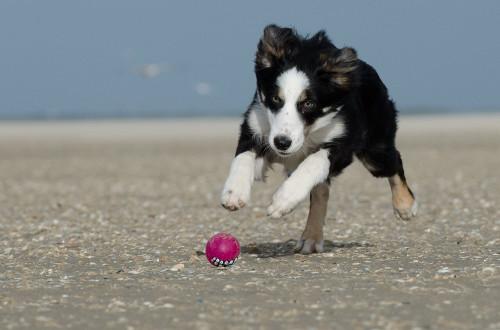 Border Collie mit Rogz Grinz Ball mit Zähnen - Hundespielzeug günstig online kaufen bei Hundesport Nubi