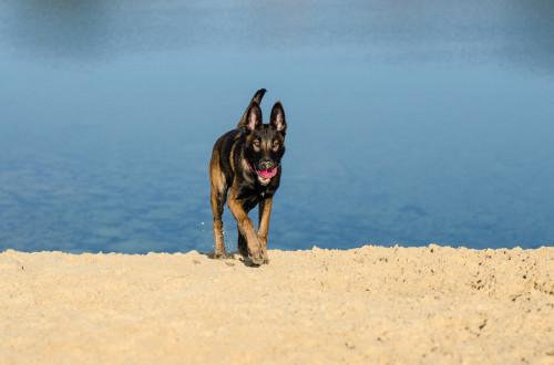 Malinois mit Rogz Grinz Ball mit Zähnen - Hundespielzeug günstig online kaufen bei Hundesport Nubi