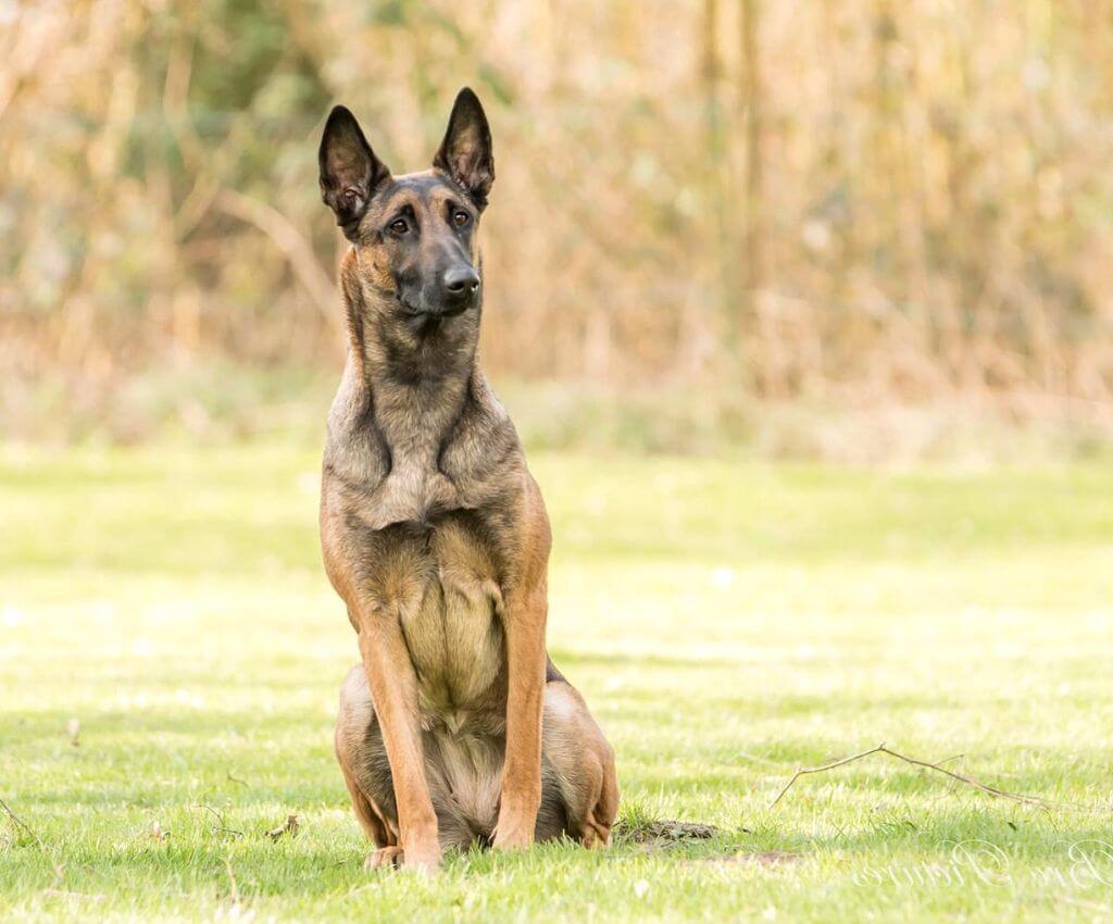 Malinois / Belgischer Schäferhund sitzt auf Wiese - das Team von Hundesport Nubi - Hundeblog