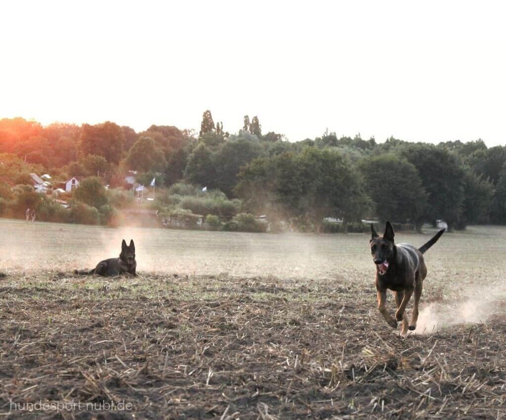 Malinois, belgischer Schäferhund und deutscher Schäferhund auf Acker, Hundesport Nubi - Shop für Hundezubehör - Hundeblog