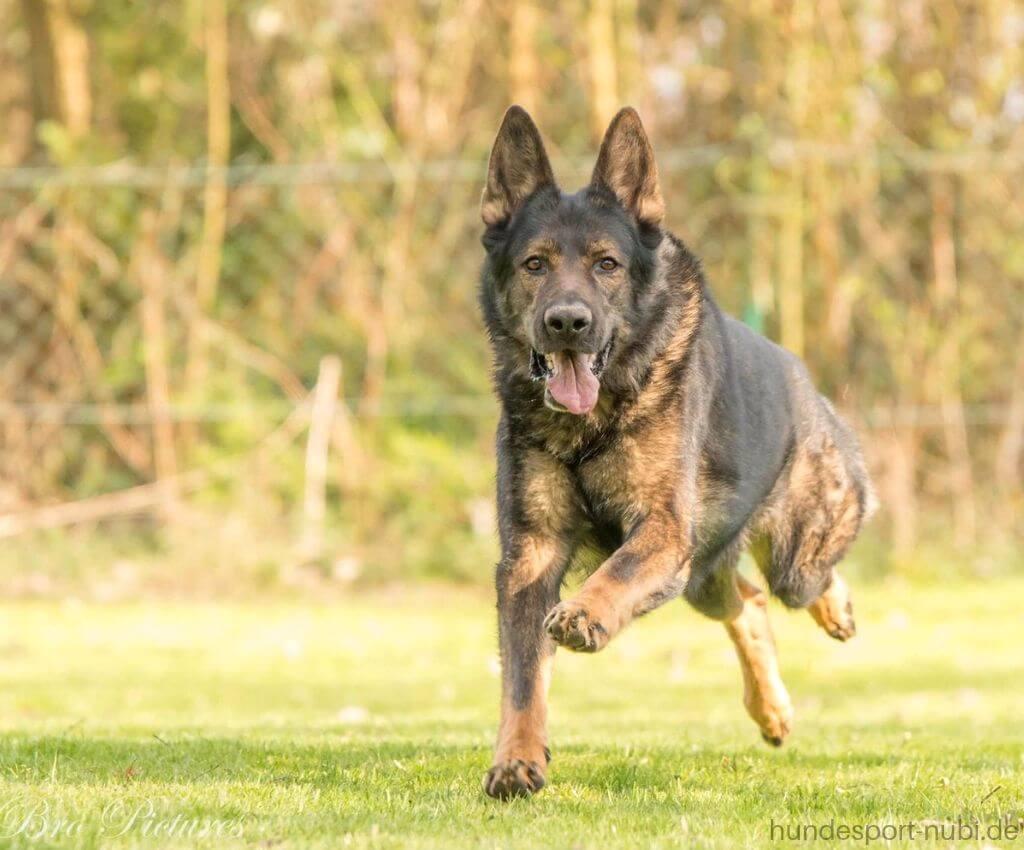 Schäferhund rennt über Wiese - das Team von Hundesport Nubi - Hundeblog