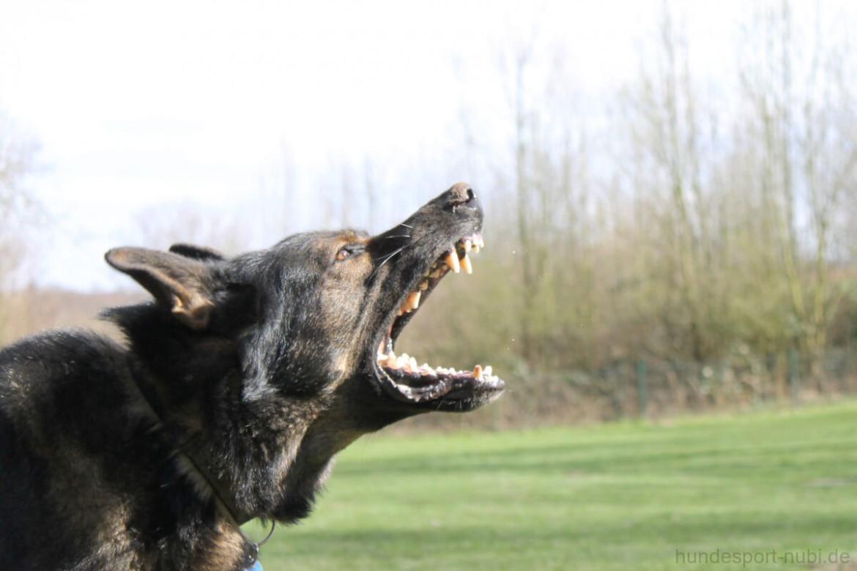 Sporthunde sind aggressiv gegenüber Mensch und Hund! Schäferhund bellt. Hundesport Nubi - Hundeblog und Shop