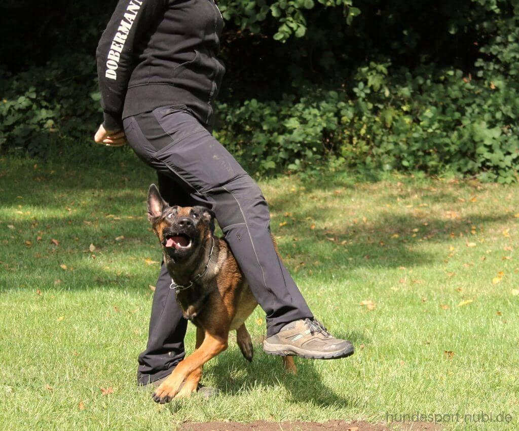 Kehrtwende in der Begleithundeprüfung, Malinois beim Training - Hundeblog Hundesport Nubi