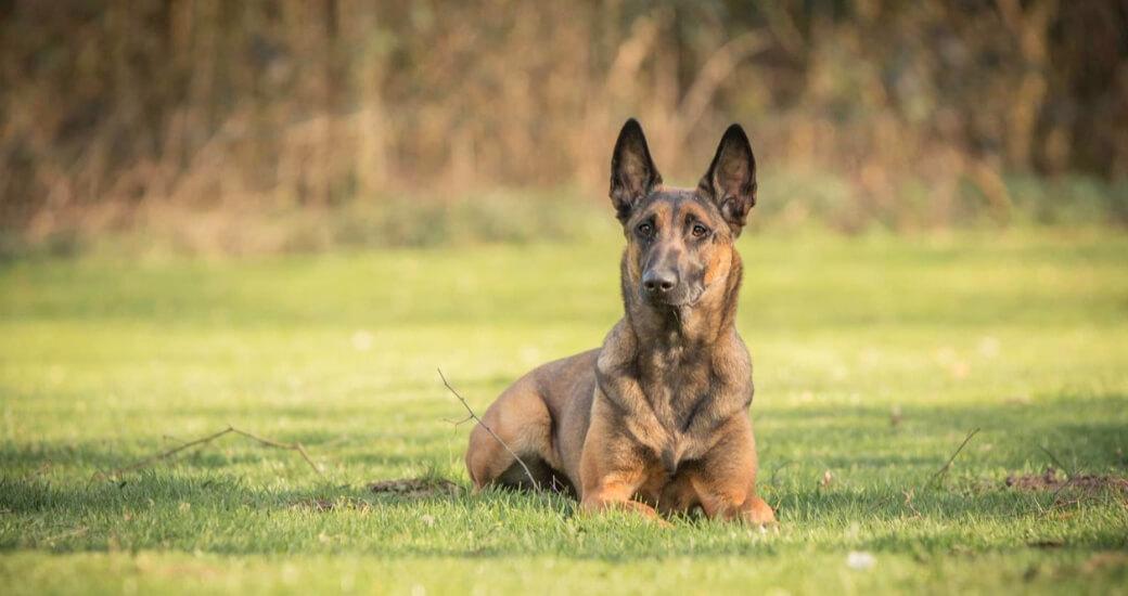 SALE - Hundeszubehör und Hundespielzeug günstig online kaufen - Malinois, belgischer Schäferhund beim Training