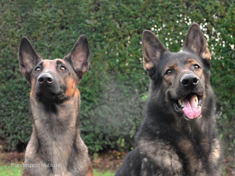 Malinois und Deutscher Schäferhund - Hundesport Nubi Blog