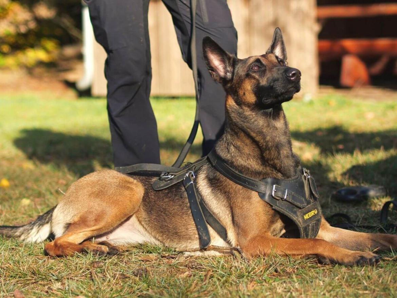 Belgischer Schäferhund_ Schutzdienst Gehorsam Training - Hundesport Nubi Blog