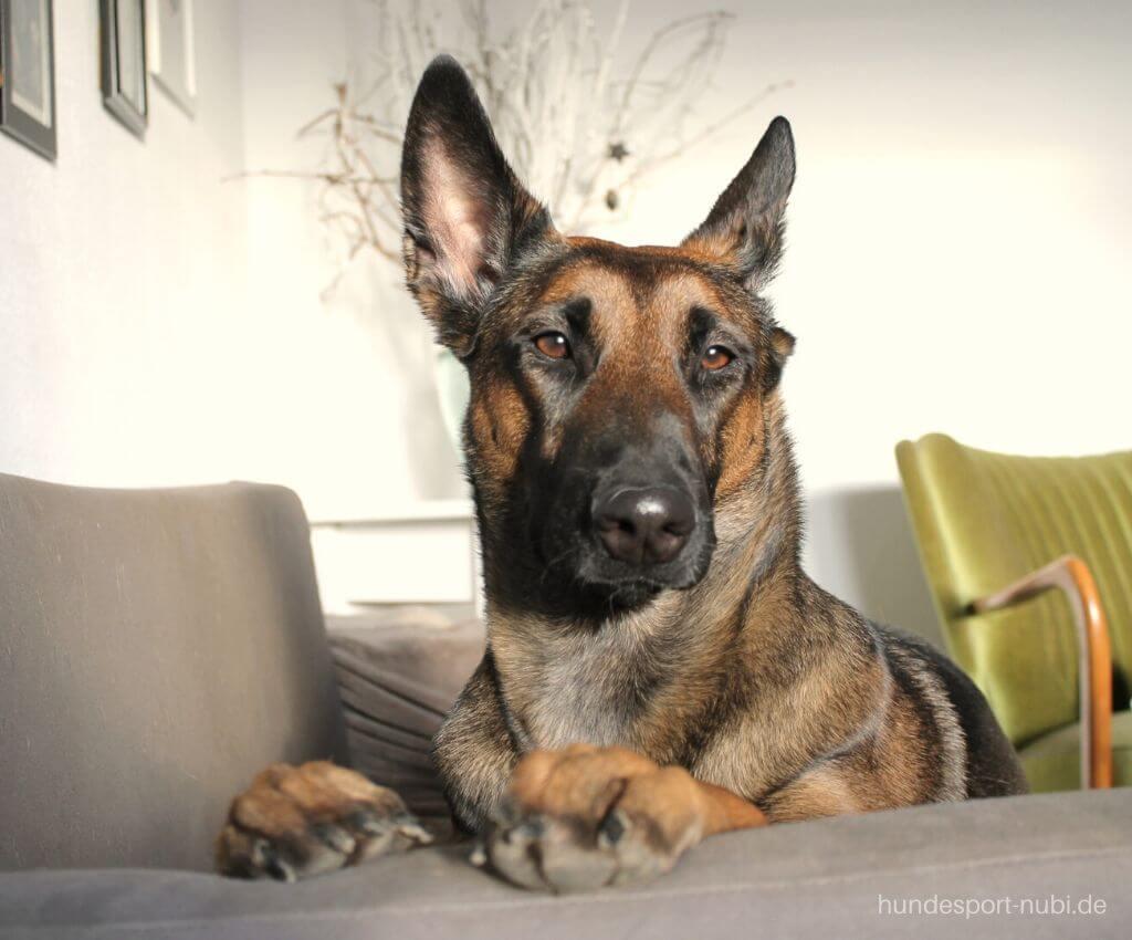 Hund zuhause beschäftigen_ Schäferhund auf Sofa - Hundesport Nubi Blog