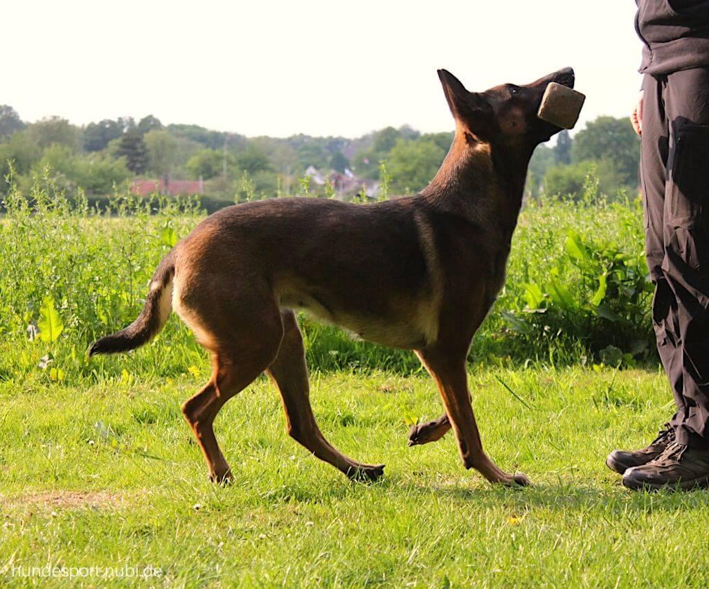 Hundeschule oder Hundesportverein? - Hundeblog Hundesport Nubi