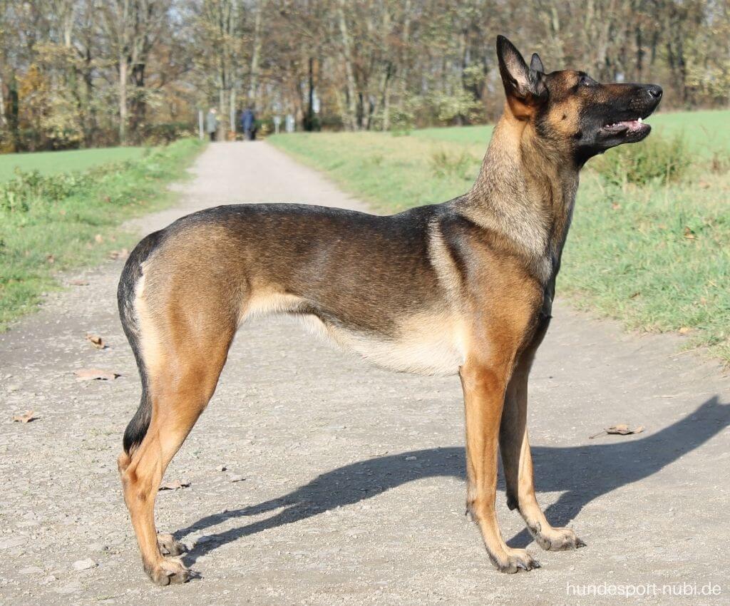 Malinois Sporthund Doggyfit - Hundefitness - Hundeblog Hundesport Nubi