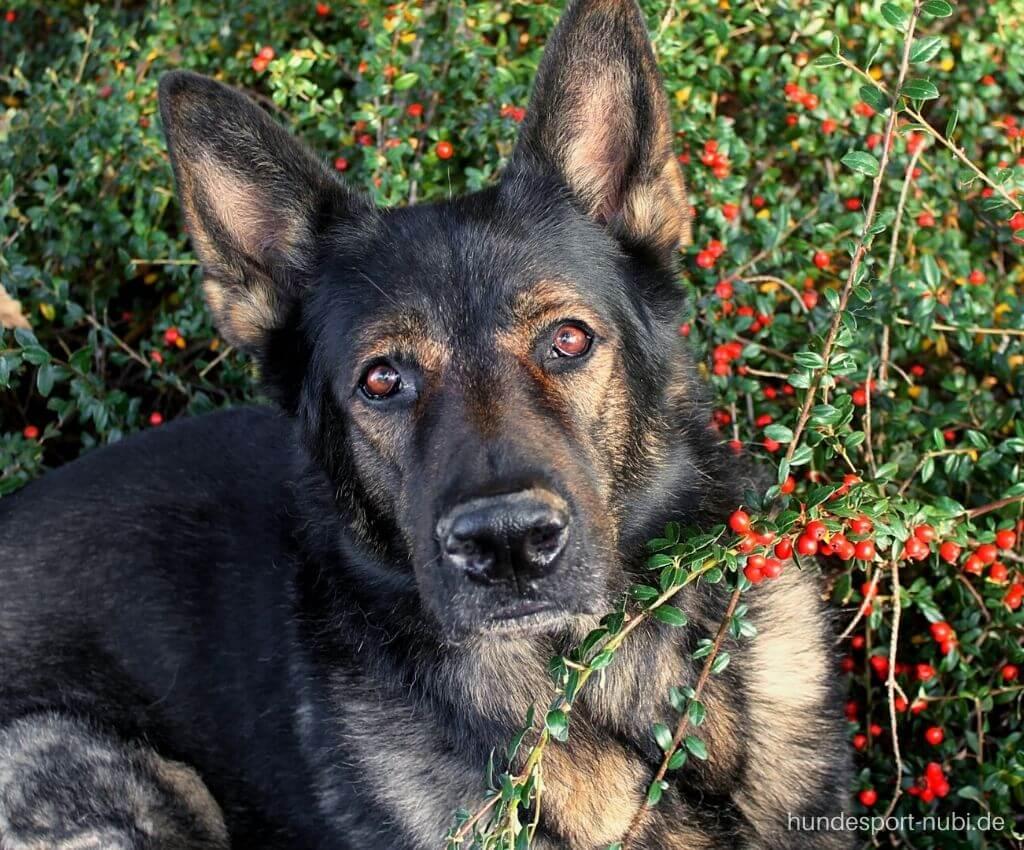 Schäferhund - Die besten Artikel vom Hundeblog 2020 - Hundesport Nubi Blog (3)
