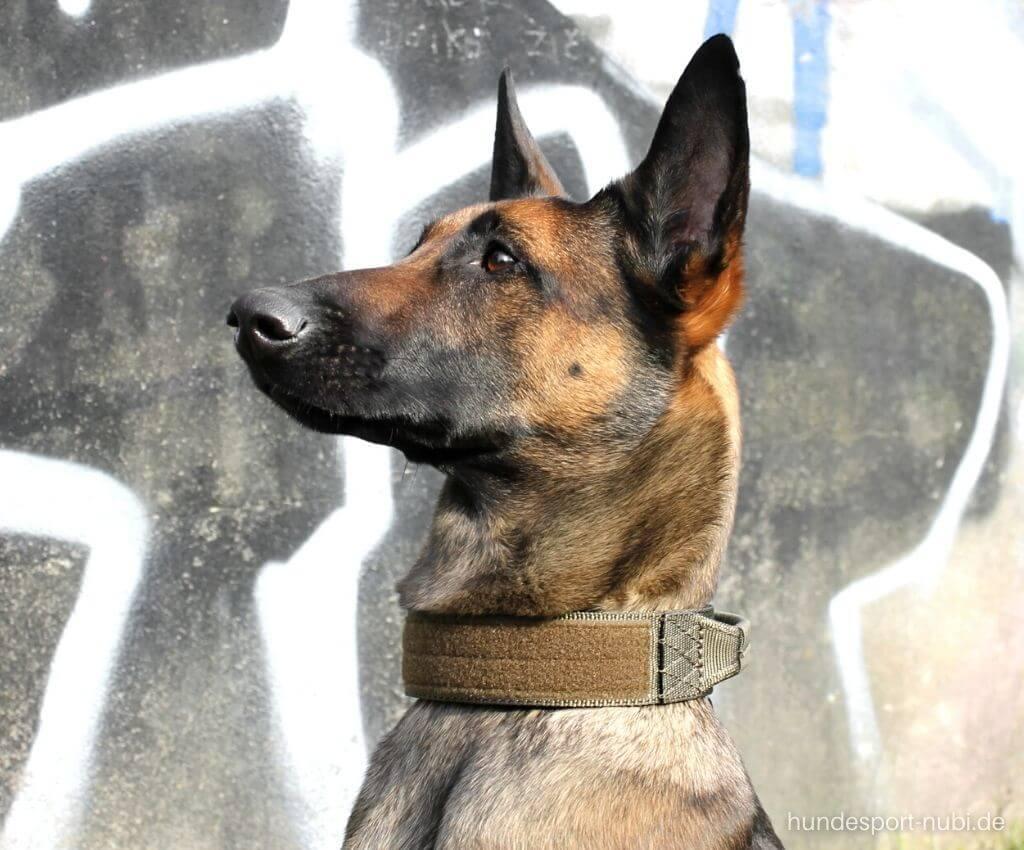 Malinois mit Hetzhalsband von Eartsch - Hundesport Nubi Blog